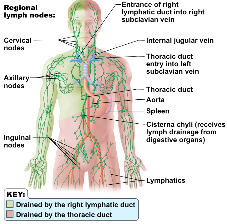 lymphatic system structures - ms. gallagher's classroom, Human Body