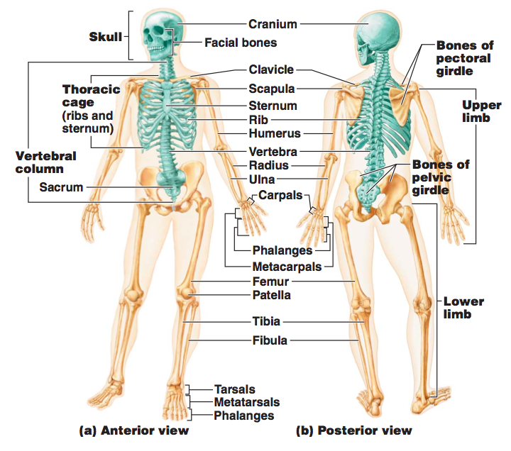 Skeletal Systemructure Function Ms Gallaghers Classroom