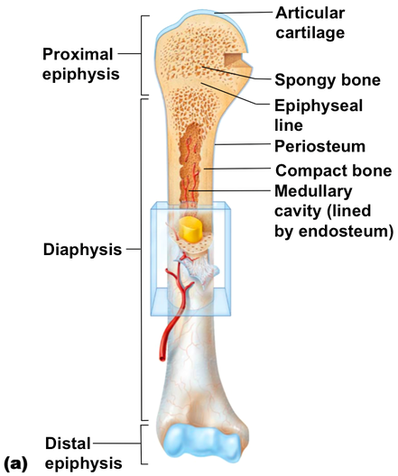 Anatomy of a Long Bone - ms. gallagher\'s classroom